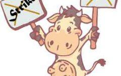 Pioneer cows strike